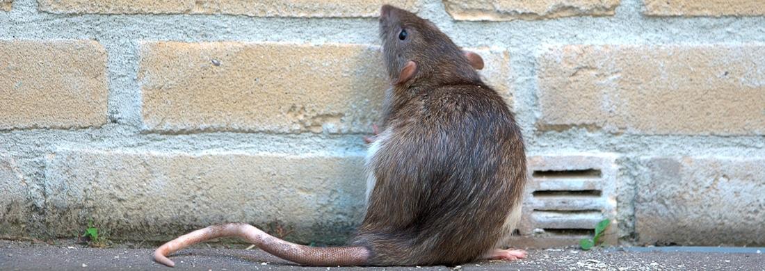 rat-pest-control